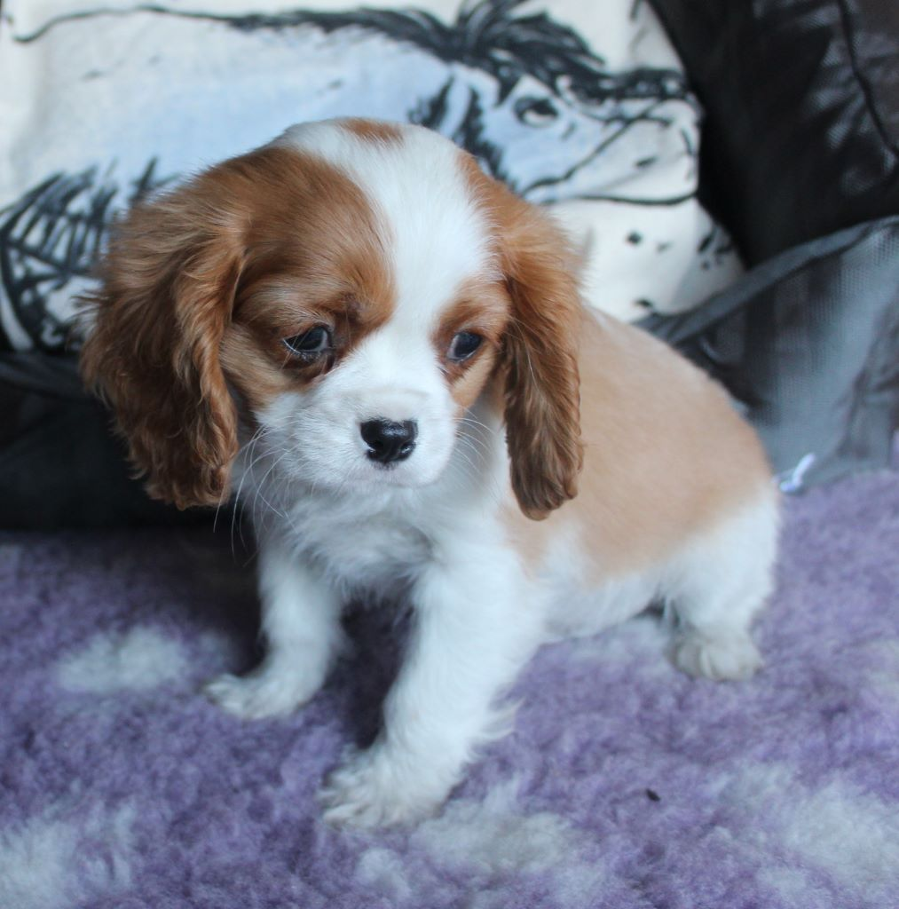 chiot cavalier king charles disponible